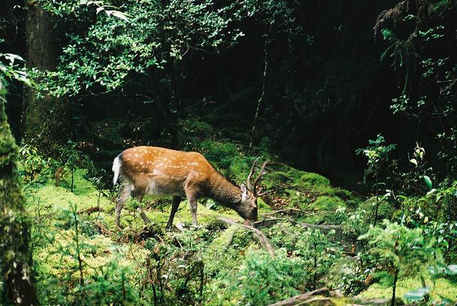 photo by 屋久島 (Yakushima) deer | Flickr - Photo Sharing!