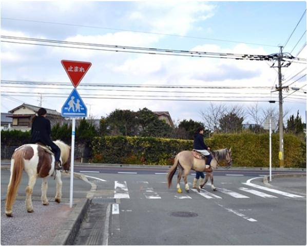 馬に乗って横断歩道を渡るのは不思議な感覚!photo by そとあそび