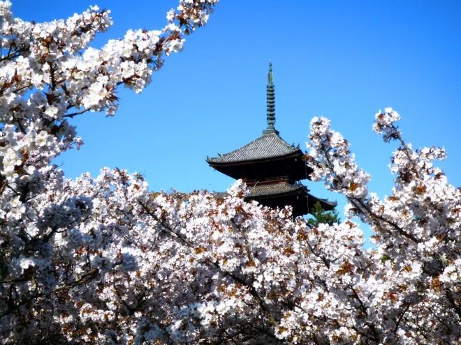 御室桜に浮かぶ仁和寺五重塔