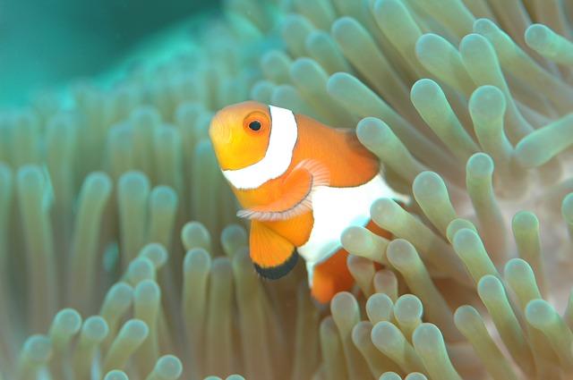 clownfish-560553_640