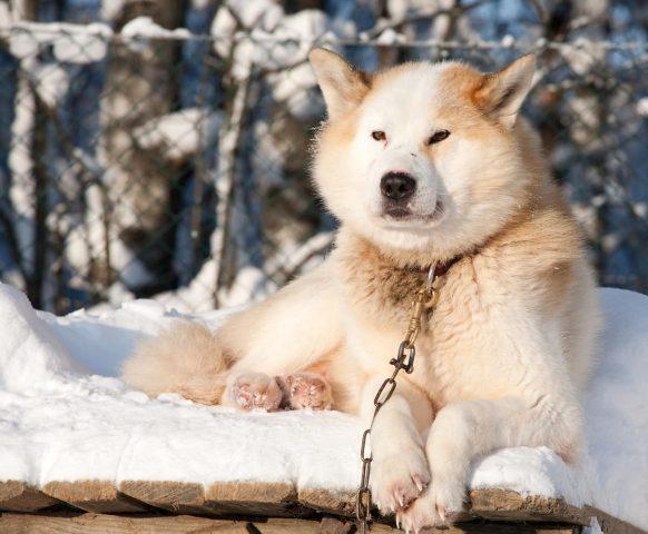 奥深い犬ぞりの世界…初心者にも分かりやすい!犬種や用語の基礎知識 ...