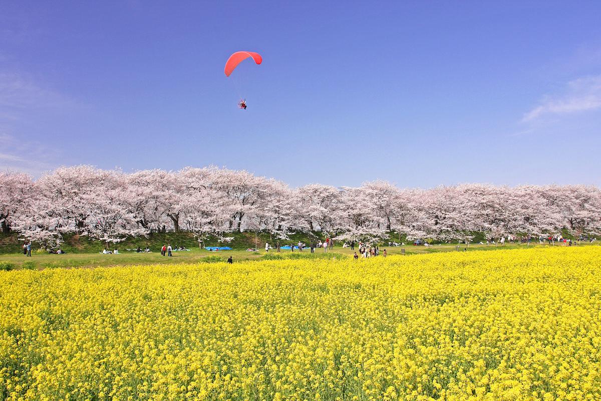 パラグライダー 桜 菜の花 埼玉県