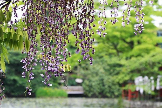 photo by2010.05.12 鎌倉八幡宮 雨の蓮池と藤 - 写真共有サイト「フォト蔵」