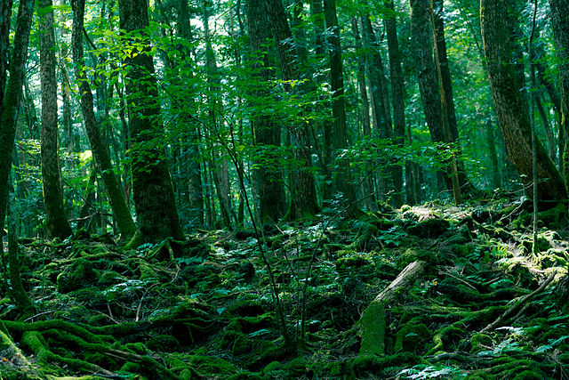 photo by Aokigahara Forest - Aokigahara - Wikipedia, the free encyclopedia