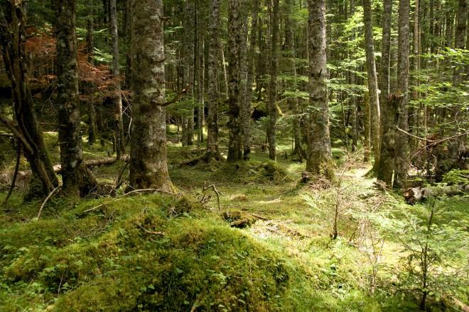 Forest_in_Yatsugatake_27