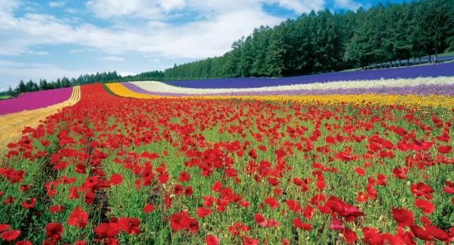 photo by 北海道のラベンダー畑「ファーム富田」オフィシャルサイト