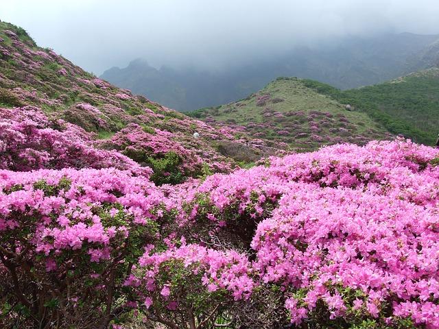 photo by 無料の写真: 仙酔峡, つつじ, ミヤマキリシマ、阿蘇, 植物, 日本 - Pixabayの無料画像 - 116158